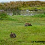 Bunnies in Ushuaia, Argentina