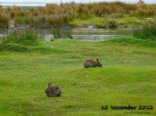 Bunnies in Ushuaia Argentina